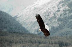 Fliegender kahler Adler. Lizenzfreies Stockfoto