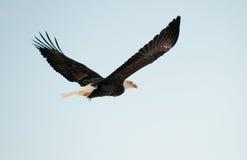 Fliegender kahler Adler. Stockbild