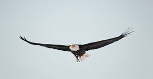 Fliegender kahler Adler lizenzfreies stockfoto