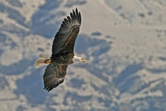 Fliegender kahler Adler Lizenzfreies Stockbild