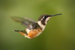 Fliegender kleiner Kolibri Purpurrot-throated Woodstar mit klarem grünem Hintergrund in Ecuador Lizenzfreie Stockfotos
