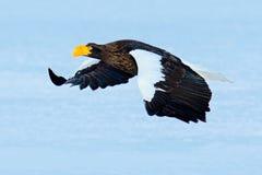Fliegender schöner Adler Stellers Seeadler, Haliaeetus pelagicus, fliegender Raubvogel, Hokkaido, Jap Stockfotografie