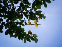 Fliegender schöner Keilschwanzsittich Stockbild