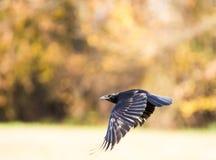 Fliegender schwarzer Kropf Stockfoto