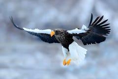 Fliegender seltener Adler Steller-` s Seeadler, Haliaeetus pelagicus, fliegender Raubvogel, mit blauem Himmel im Hintergrund, Hok Stockbild
