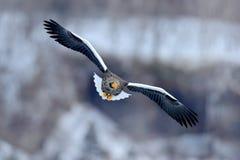 Fliegender seltener Adler Steller-` s Seeadler, Haliaeetus pelagicus, fliegender Raubvogel, mit blauem Himmel im Hintergrund, Hok Stockfotografie