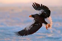Fliegender seltener Adler Steller-` s Seeadler, Haliaeetus pelagicus, fliegender Raubvogel, mit blauem Himmel im Hintergrund, Hok Lizenzfreie Stockbilder