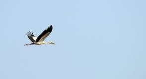Fliegender tropischer Vogelreiher stockfotos