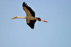 Fliegender tropischer Vogelreiher lizenzfreies stockbild