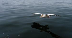 Fliegender weißer Pelikan, Walvis-Bucht, Namibia Lizenzfreies Stockbild
