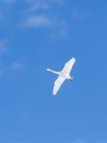 Fliegender weißer Singschwan verbreitete Flügel im klaren blauen Himmel Stockbild
