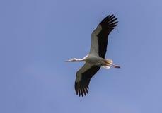Fliegender weißer Storch Lizenzfreie Stockfotos
