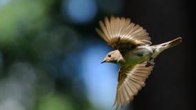 Fliegender weiblicher Trauerschnäpper Stockbilder
