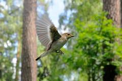 Fliegender weiblicher Trauerschnäpper Lizenzfreies Stockfoto