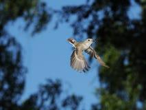 Fliegender weiblicher Trauerschnäpper mit der Zufuhr Lizenzfreie Stockbilder