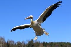 Fliegender weißer Pelikan Lizenzfreie Stockfotos