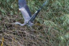 Fliegendes graues hiron Stockfotos