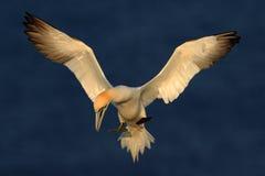 Fliegendes Nord-Gannet mit offenen Flügeln über dunkelblauem Meer im Hintergrund Lizenzfreie Stockbilder