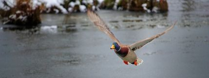 Fliegenente über dem Teich lizenzfreie stockfotografie