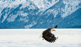 Fliegenerwachsener Weißkopfseeadler Lizenzfreies Stockfoto