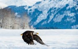 Fliegenerwachsener Weißkopfseeadler Lizenzfreies Stockbild