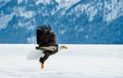 Fliegenerwachsener Weißkopfseeadler Lizenzfreie Stockfotos