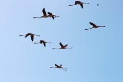 Fliegenflamingos in der Camargue-Region, Frankreich stockbilder