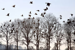 Fliegengänse über winterlichen kahlen Bäumen, Holland Lizenzfreies Stockbild