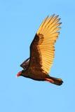 Fliegengeier mit blauem Himmel, Abendsonne Die Türkei-Geier, Cathartesaura, hässlicher schwarzer Vogel mit rotem Kopf, auf dem Hi Lizenzfreies Stockfoto