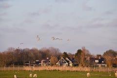Fliegenhöckerschwäne über Ackerland Stockfotos