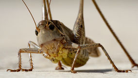 Fliegenheuschrecke, die auf Steinpflasterung stillsteht Stockfoto
