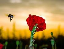 Fliegenhummel und rote Mohnblume, Sonnenaufgangzeit, Elsass, Frankreich Lizenzfreies Stockfoto