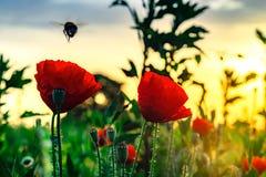 Fliegenhummel und rote Mohnblume, Sonnenaufgangzeit, Elsass, Frankreich Stockfotos