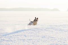 Fliegenhund, der von Kamera zu Horizont am sonnigen Wintertag springt und läuft Lizenzfreie Stockfotos