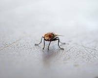 Fliegeninsektenträger der Krankheit Stockfotografie