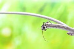 Fliegenkäfer Stockfotos
