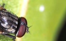 Fliegenkopf lizenzfreie stockfotografie