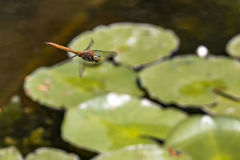 Fliegenlibelle Stockfotos