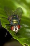 Fliegenmakro auf einem grünen Blatt Lizenzfreie Stockfotos