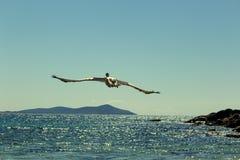 Fliegenpelikan über dem Meer Lizenzfreies Stockfoto