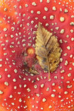 Fliegenpilz Stockbilder