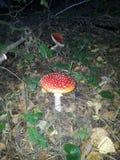 Fliegenpilz im Wald nachts Stockfotografie