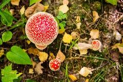 Fliegenpilze im Herbstwald lizenzfreies stockbild