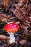 Fliegenpilzpilz auf Waldboden Stockbild