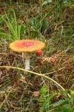 Fliegenpilzpilz/-Giftpilz mit Rot beschmutzten die Kappe, auch bekannt als Wulstling muscaria Pilz ist giftig lizenzfreies stockbild