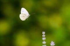 Fliegenschmetterling Lizenzfreies Stockfoto