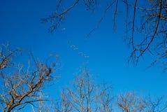 Fliegenschwäne Stockbild