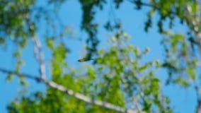 Fliegenschwarzmilan im Himmel stock video footage