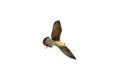 Fliegenseemöwe auf dem weißen Hintergrund Lizenzfreies Stockfoto