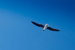 Fliegenseemöwe auf schönem Himmelhintergrund Lizenzfreie Stockfotografie